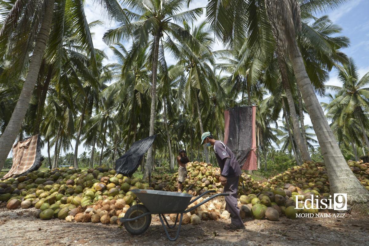 LADANG pokok kelapa yang telah diusahakan sejak 50 tahun dahulu. IMEJ EDISI 9 / MOHD NAIM AZIZ